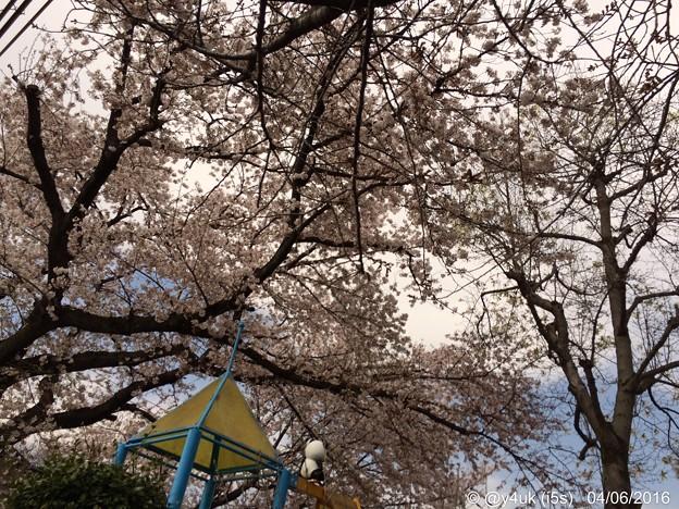 今春も見守ってたパンダくんと桜満開ラスト日 ~life is....