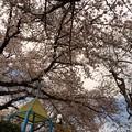 Photos: 今春も見守ってたパンダくんと桜満開ラスト日 ~life is....