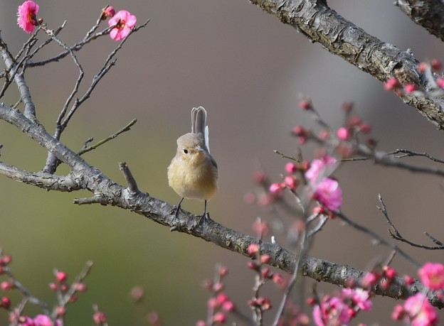 Photos: ウメオジロ(紅)-2