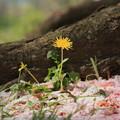 Photos: 桜絨毯のたんぽぽ