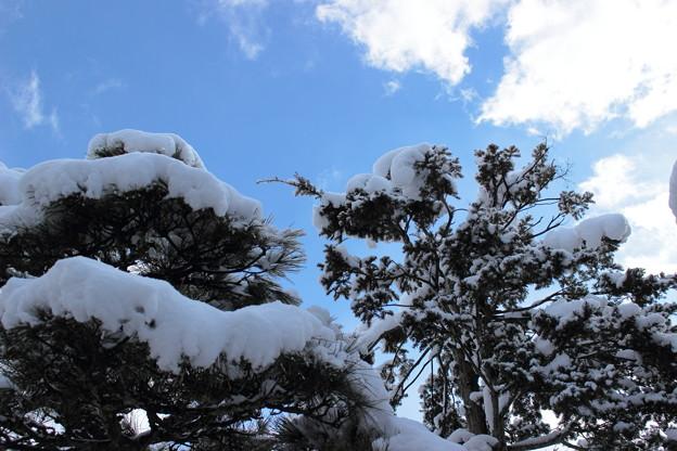 松の木と青空