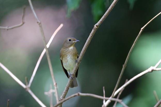 オオルリ♀若鳥(1)FK3A1020