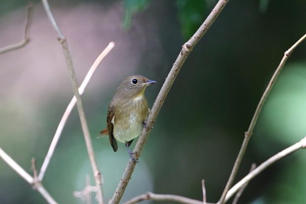オオルリ♀若鳥(2)FK3A1017
