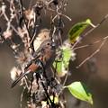 Photos: ベニマシコ(2)♂若鳥 FK3A4919