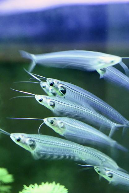 写真: 熱帯魚のMRI?