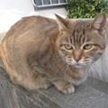 写真: _151203 035 人懐っこいトラ猫