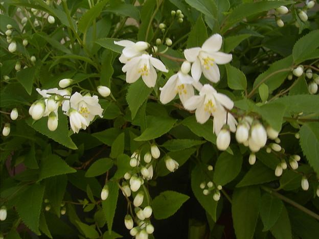 ウツギの花Caplio RR30? 0084