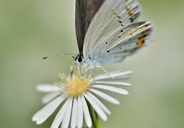 燕シジミ蝶