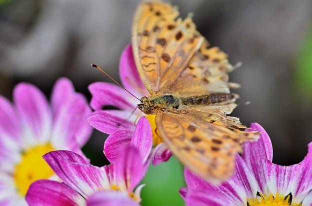 傷んだヒョウモン蝶