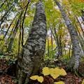 枯葉~ブナの木