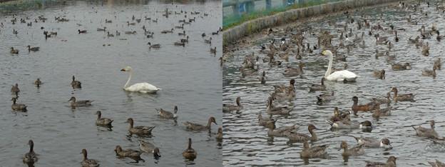 瓢湖白鳥2