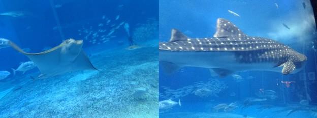 写真: エイとサメ