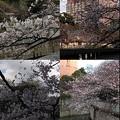 写真: ママ誕生日桜2