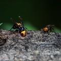 Photos: スズメバチとオオスズメバチ