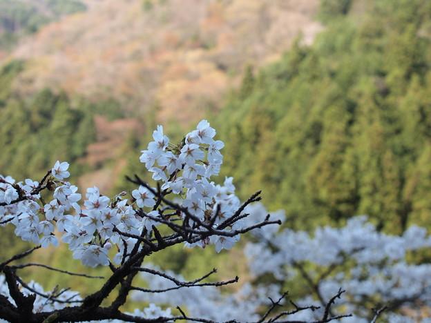 P4160304 中山七里の桜その18