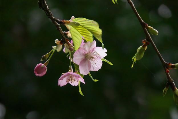 もう葉が出始めた 河津桜