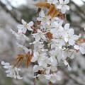 Photos: 山桜の花
