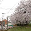 桜並木の沿線