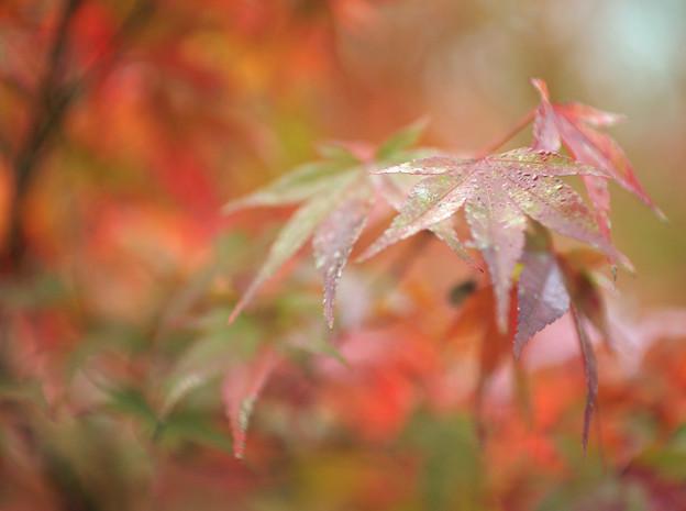朝露に濡れる紅葉