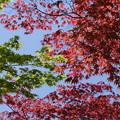 Photos: 新緑紅葉