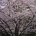 Photos: 赤羽西口の桜