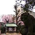 Photos: 赤羽西口 諏訪神社 桜と狛犬