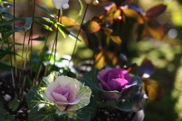 葉牡丹(1)