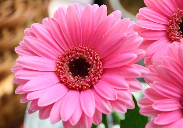 西洋ピンク色ガーベラ15