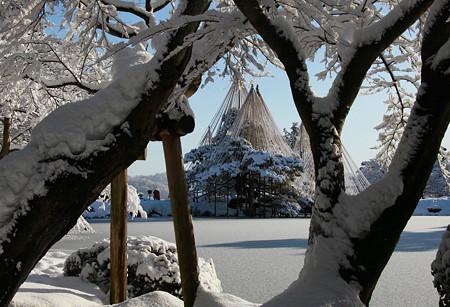 木の間から 雪吊り (*^-^)ニコ