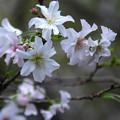 写真: 十月桜 (2)