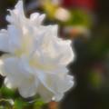 写真: 白バラ「ラ・パロマ」