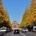 今日の神宮外苑イチョウ並木