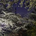 桜に埋もれて