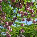 石灯篭と八重桜