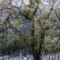 残雪に咲く