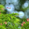 モミジの花