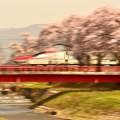 桜,満開 その3