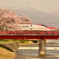 桜,満開 その4