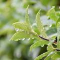 Photos: 雨降りの葉っぱ