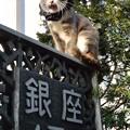 Photos: 銀座のにゃんこ