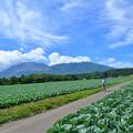 Photos: キャベツ畑