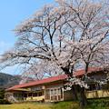 写真: 旧下里分校の桜
