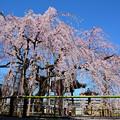 写真: 地蔵院のシダレザクラ