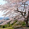 写真: 八徳の一本桜2016