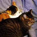 写真: 珍しい猫団子