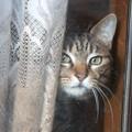 写真: 臆病な窓際猫