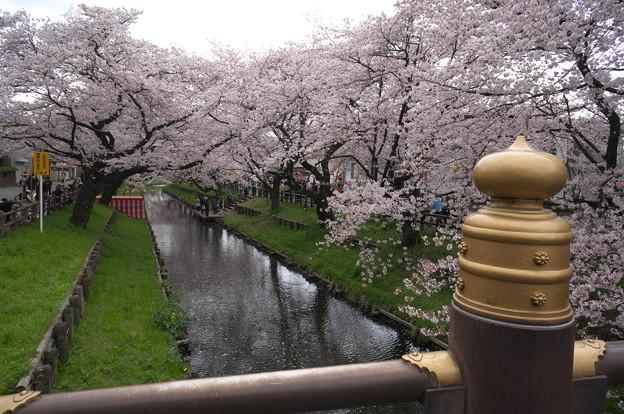 桜満開の新河岸川