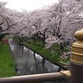 Photos: 桜満開の新河岸川