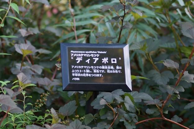 亜米利加手毬下野(アメリカテマリシモツケ) ディアボロ