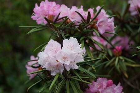 細葉石楠花(ホソバシャクナゲ)